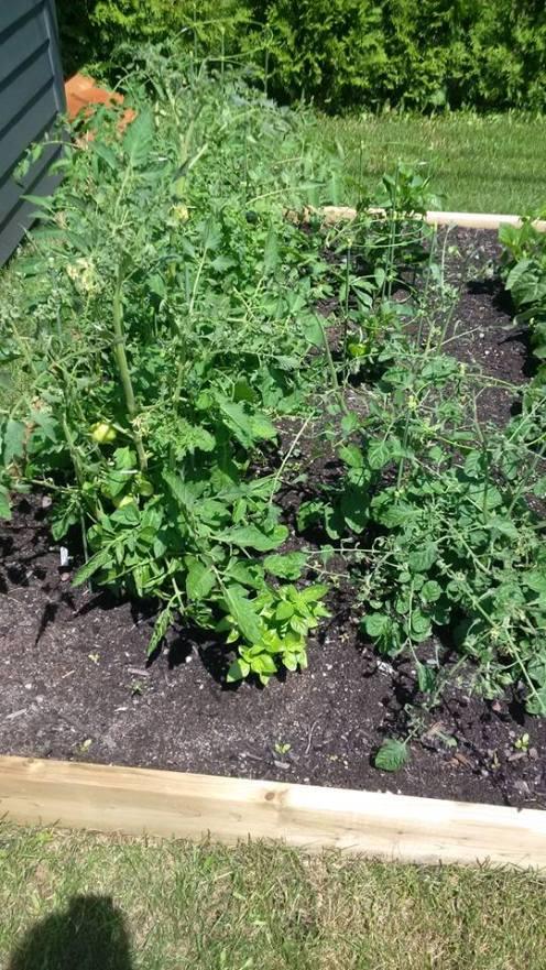Plans de tomates du jardin de Patricia